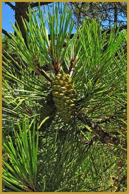Grandes images de Pinus