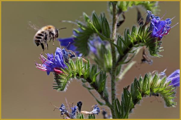 """Résultat de recherche d'images pour """"viperine avec abeille"""""""